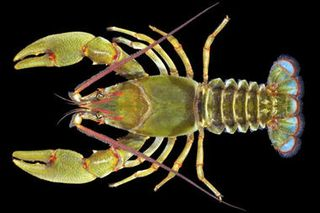 Crayfish_full_380